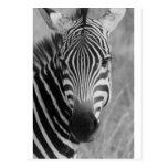Rayas con clase africanas lindas del safari de la  postales