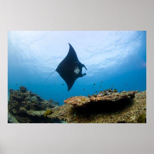 Rayo de Manta en la gran barrera de coral Póster