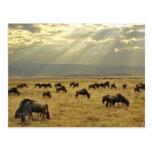 Rayos de sol y Wildebeest, taurinus del Postales