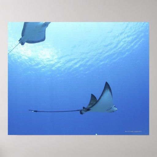 Rayos que nadan, Saipán, Northern Mariana Islands Impresiones