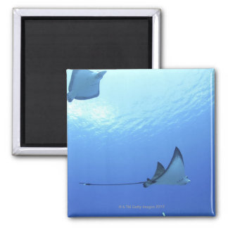 Rays swimming, Saipan, Northern Mariana Islands 2 Inch Square Magnet