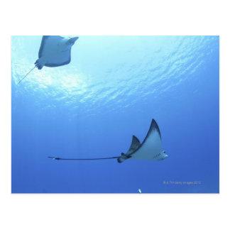 Rays swimming, Saipan, Northern Mariana Islands Postcard