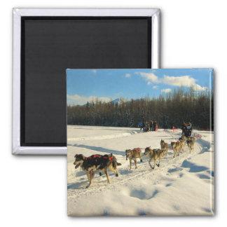 Raza de perro de trineo del rastro de Iditarod Imán Cuadrado