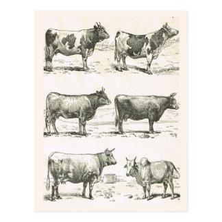 Razas de ganados, Francia, diversas razas 2 Tarjeta Postal