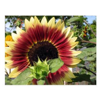 Razzmatazz Sunflower Postcards