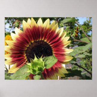 Razzmatazz Sunflower Poster