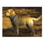 Ready for hunting, proud Labrador in sunlight Postcards