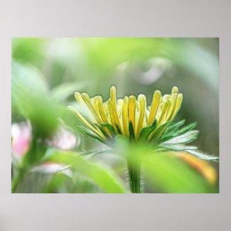 Ready To Bloom - Rudbeckia