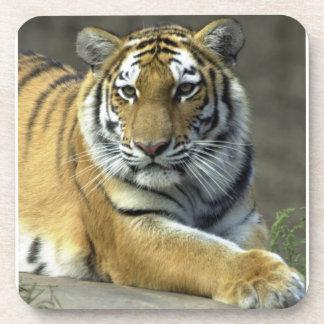 Ready to Pounce Tiger Coaster