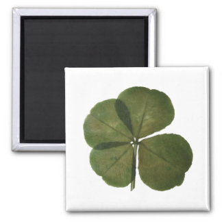 Real 4 leaves clover St patrick Get Lucky Magnet