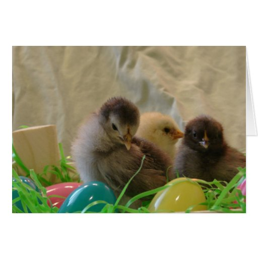 Real Easter Chicks Greeting Card