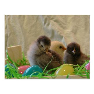 Real Easter Chicks Postcard