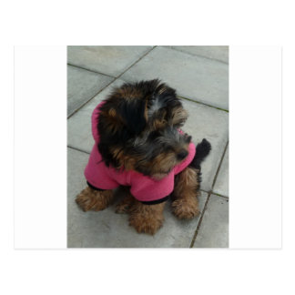 Real men wear pink - Oscar the Yorkie Postcard