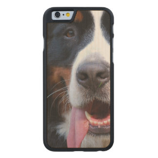 Really Cute Bernese Mountain Dog Carved® Maple iPhone 6 Slim Case