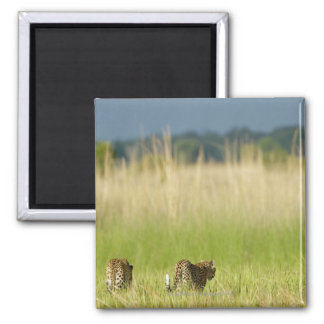 Rear view of Leopard (Panthera pardus) and cub 2 Inch Square Magnet