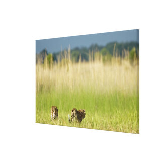 Rear view of Leopard (Panthera pardus) and cub Canvas Print