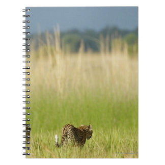 Rear view of Leopard (Panthera pardus) and cub Notebook