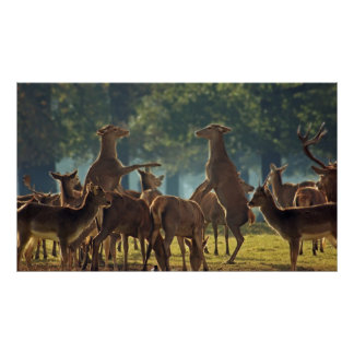 Rearing Doe red deer Posters