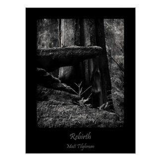Rebirth in California Redwood Forest Poster