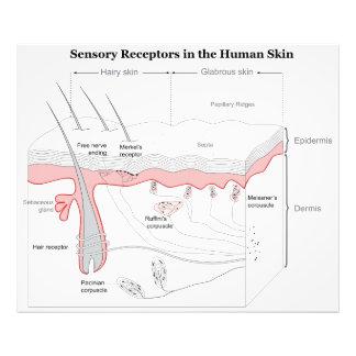 Receptores sensoriales en el diagrama humano de la impresión fotográfica