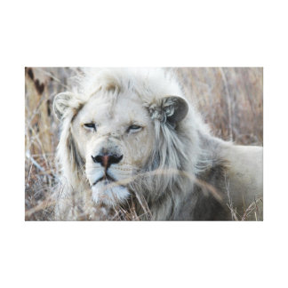 Reclinación blanca africana del león impresiones en lona estiradas
