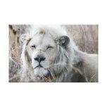 Reclinación blanca africana del león lienzo envuelto para galerias