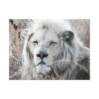 Reclinación blanca africana del león lona estirada galerias