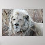 Reclinación blanca africana del león póster