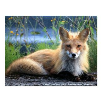 Reclinación del Fox rojo Postal