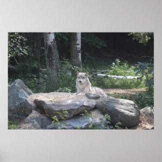 Reclinación del lobo de madera impresiones