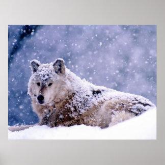 Reclinación del lobo del invierno impresiones