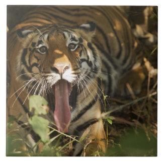 Reclinación del tigre de Bengala, bostezando Azulejo Cuadrado Grande