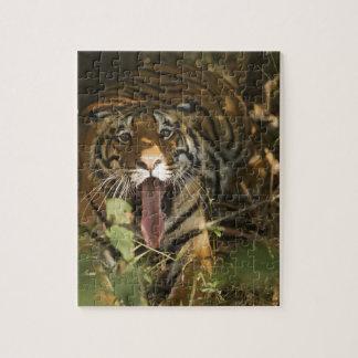 Reclinación del tigre de Bengala, bostezando Rompecabeza