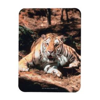Reclinación del tigre imán