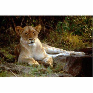 Reclining African Lion Lioness Cutout