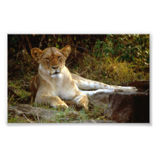 Reclining African Lion Lioness Photo Print