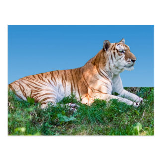 Reclining Tiger Postcard