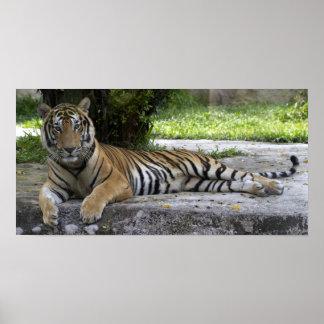 Reclining Tiger Poster