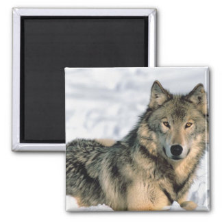 Reclining Wolf Magnet