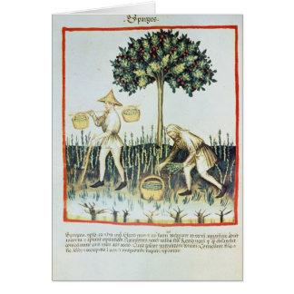 Recogedores del espárrago, siglo XIII Tarjetón