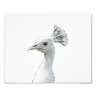 Recorte blanco de la cabeza del pavo real del albi impresion fotografica
