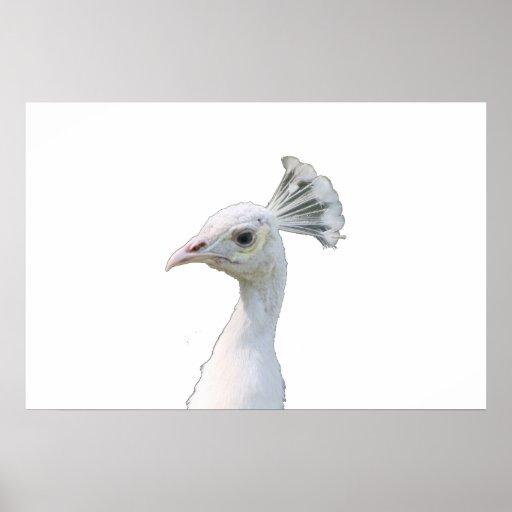 Recorte blanco de la cabeza del pavo real del albi posters