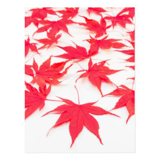 Red Acer leaves on white background Postcard