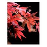 Red Acer Postcard