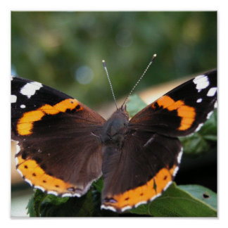 Red Admiral Butterfly Poster Print