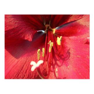 Red Amarillys Postcard