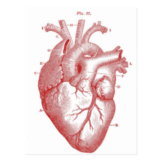 Red Anatomical Heart Postcard