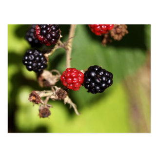 Red and black blackberry fruits. postcard