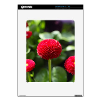 Red and filled cultivated daisies in a garden. iPad skin