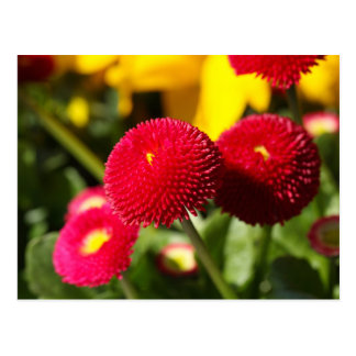 Red and filled cultivated daisies postcard